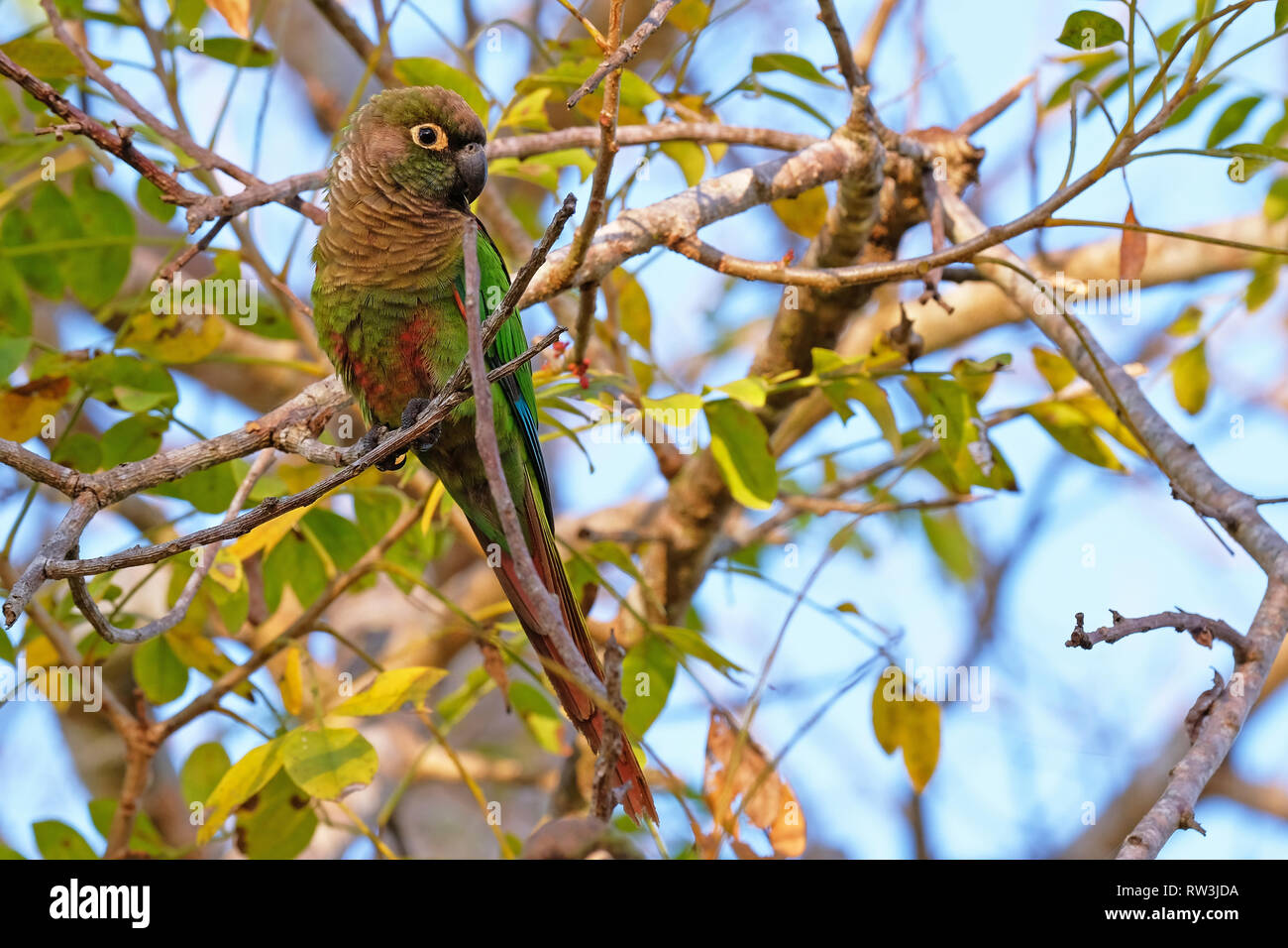 Scaly-headed Parrot, Pionus Maximiliani, perching on a branch in Pantanal, Aquidauana, Mato Grosso Do Sul, Brazil - Stock Image