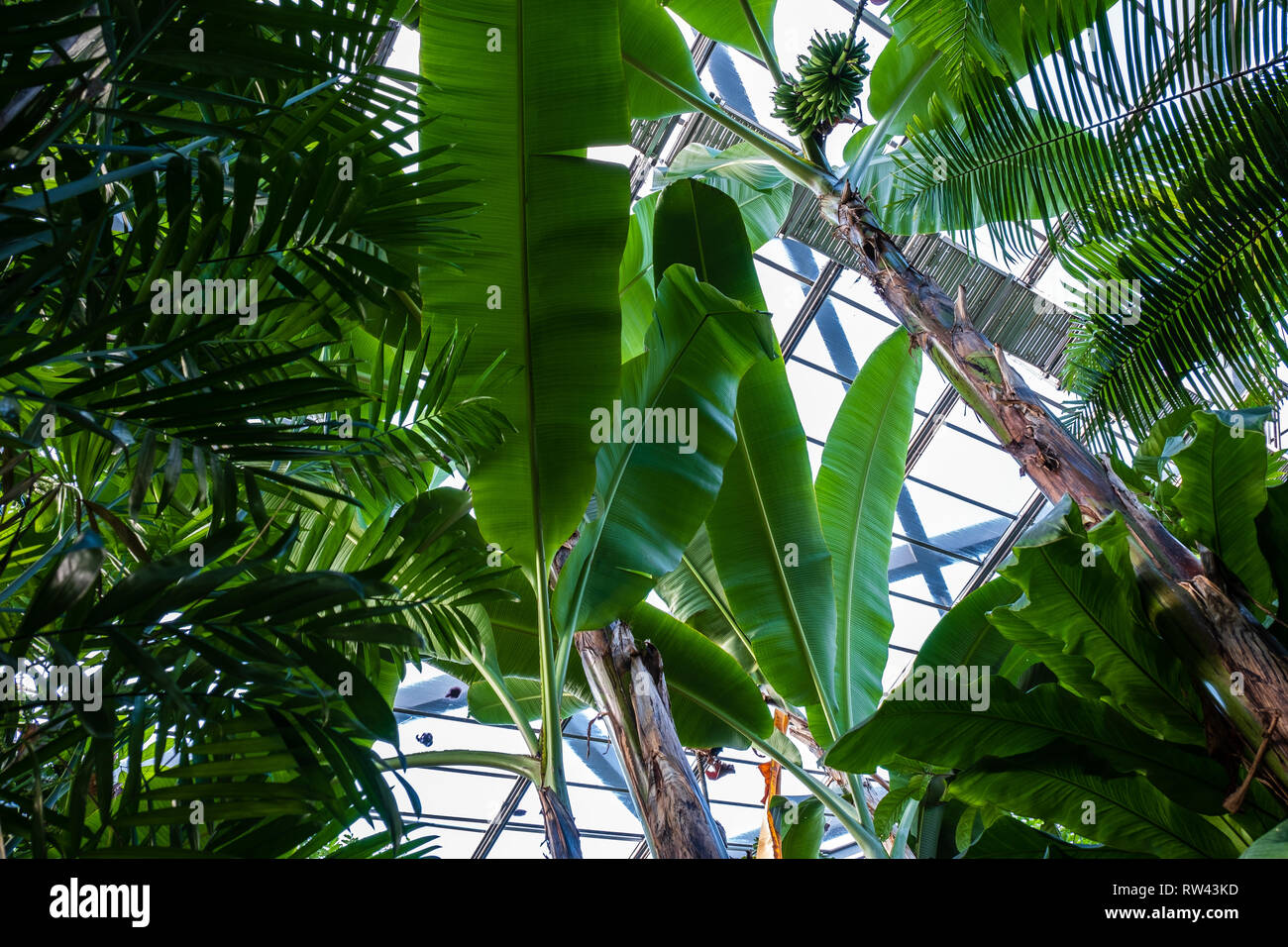 Banana trees in the greenhouse.High angel view - Stock Image