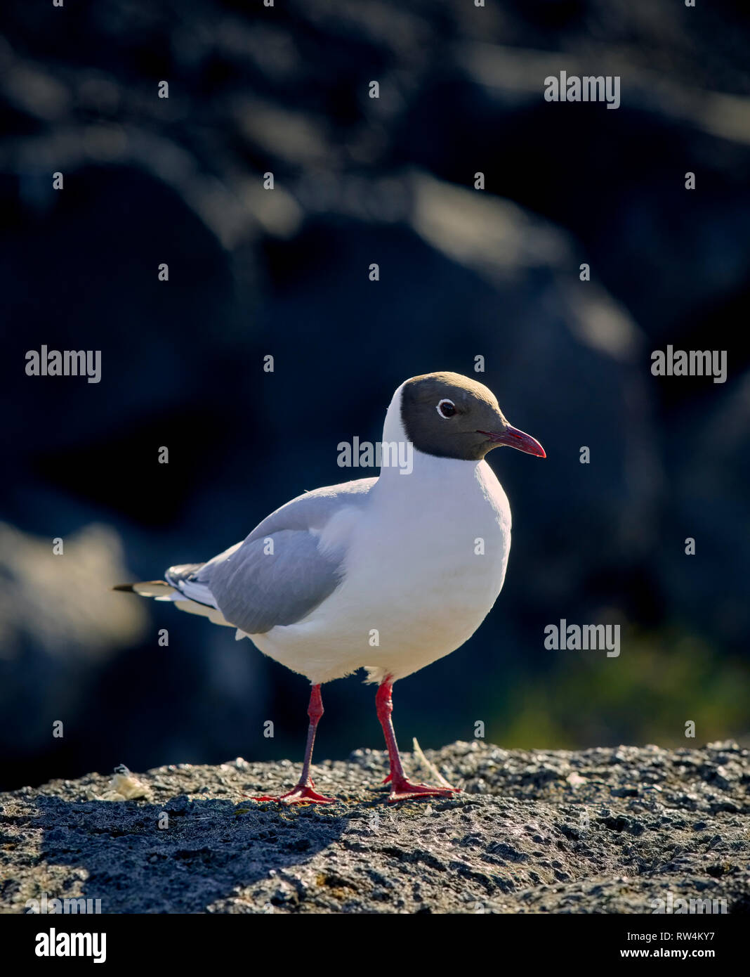 Black-headed Gull, Iceland - Stock Image