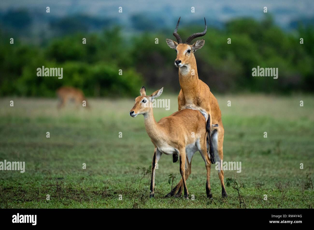 Uganda Kob mating, kobus kob thomasi, Queen Elizabeth NP, Uganda - Stock Image