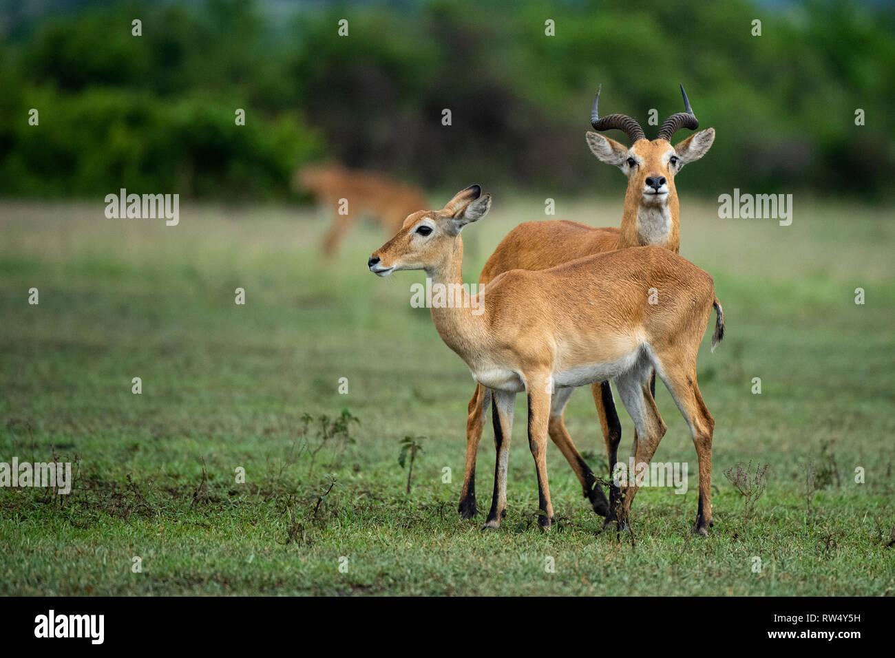Uganda Kob, kobus kob thomasi, Queen Elizabeth NP, Uganda - Stock Image
