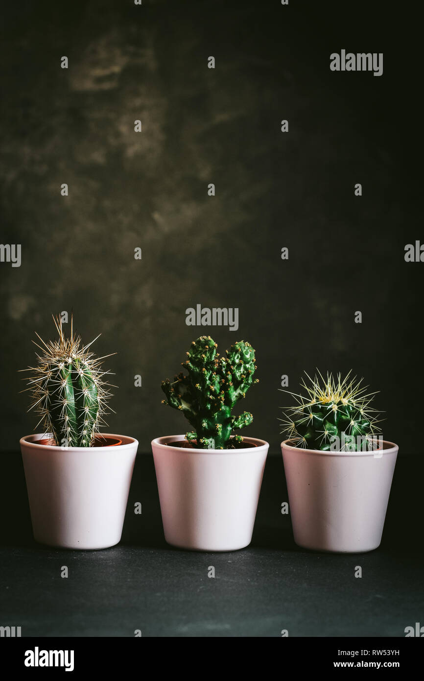 Three cactus in pink pots close up on a black background Stock Photo