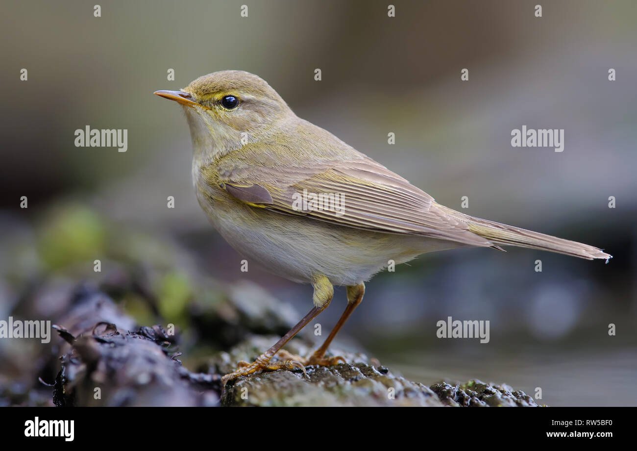 Willow warbler posing near a waterpond Stock Photo