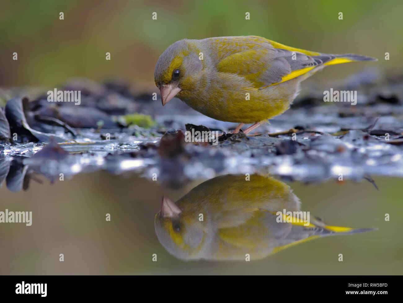 European greenfinch looking at his reflection in water pond - Stock Image