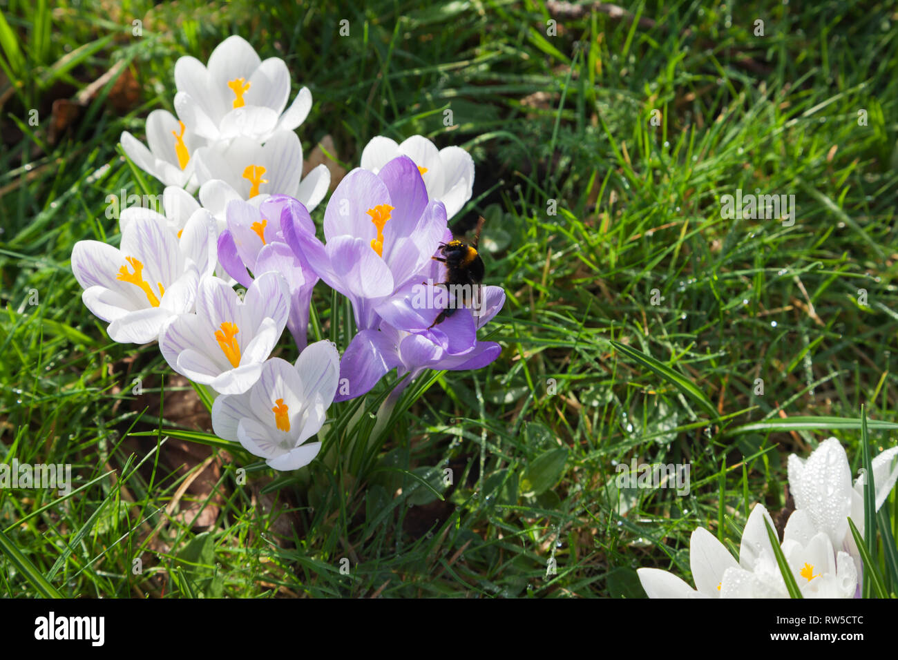 Spring flowering crocus growing through lawn with queen bumblebee - Stock Image