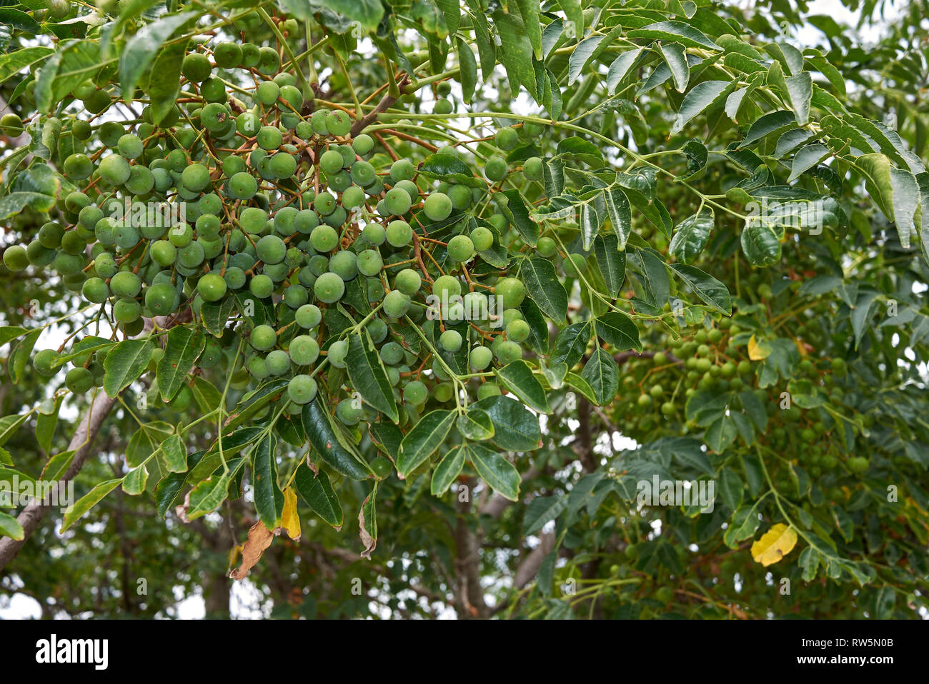 Melia azedarach branch with fruit Stock Photo: 239227419 - Alamy