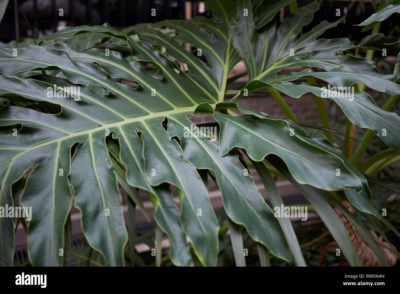 Horsehead Philodendron High Resolution Stock Photography And Images Alamy