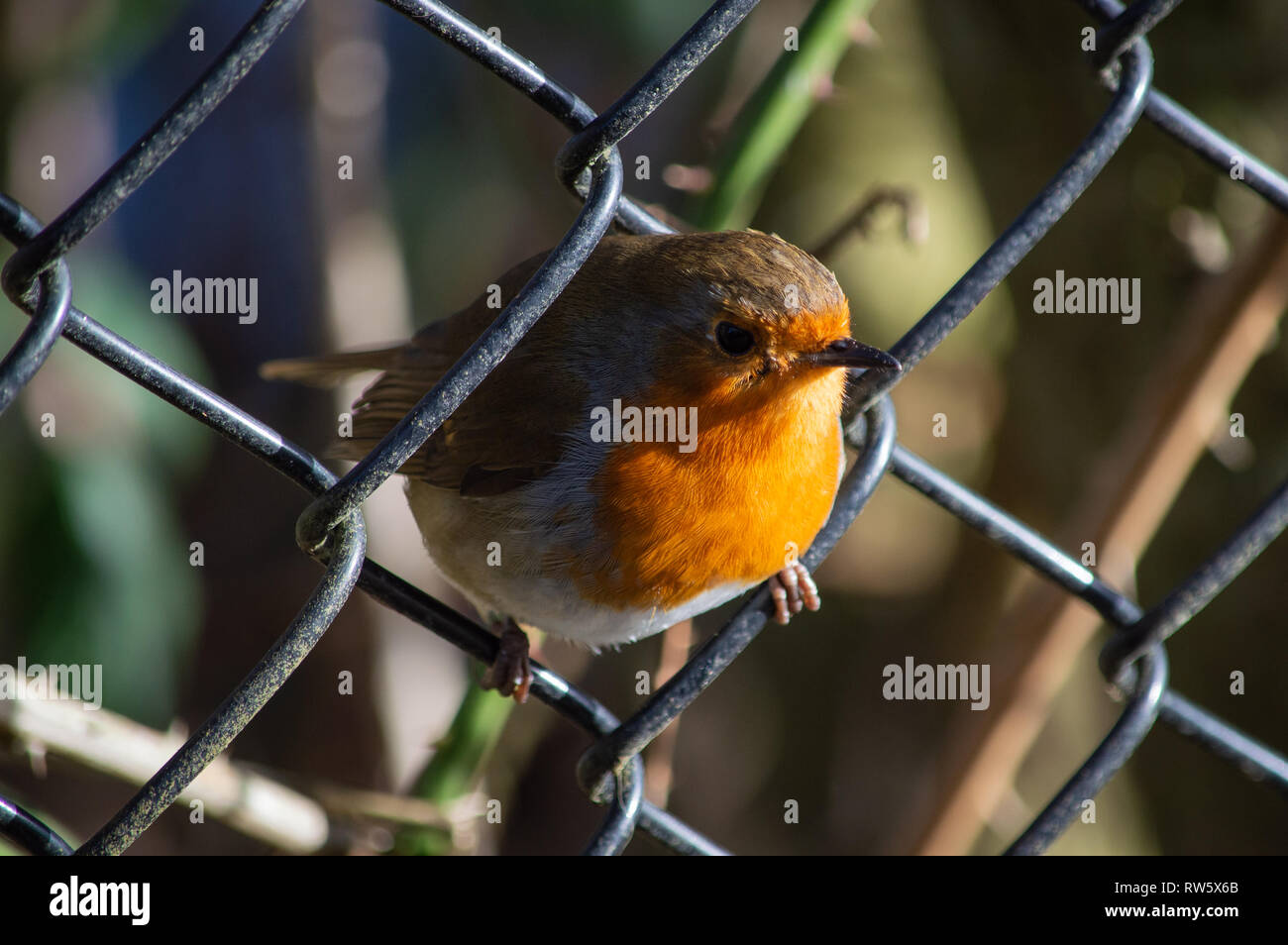 Robin looking through a wire fence - Stock Image