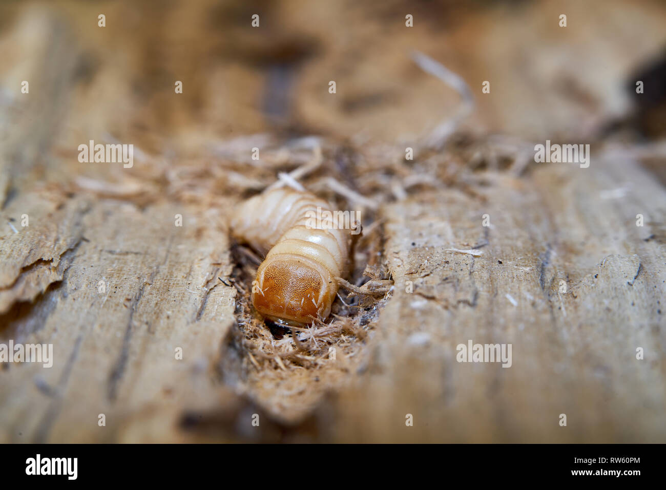 Larva of a large poplar longhorn beetle (Saperda carcharias) in the wood of a poplar tree - Stock Image