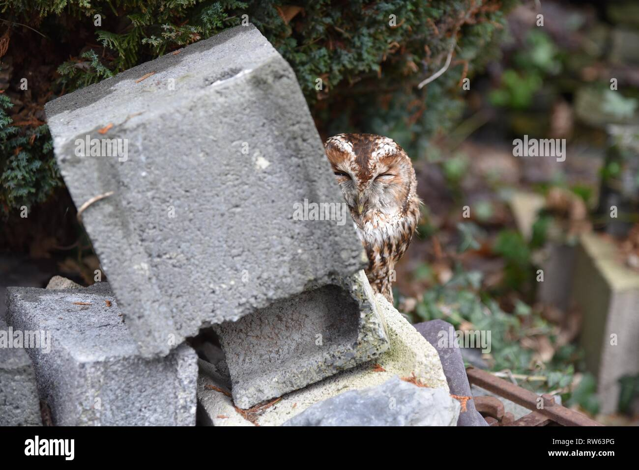 Tawny Owl, or Brown Owl (Strix aluco): an individual bird found at ground level with a broken wing Stock Photo