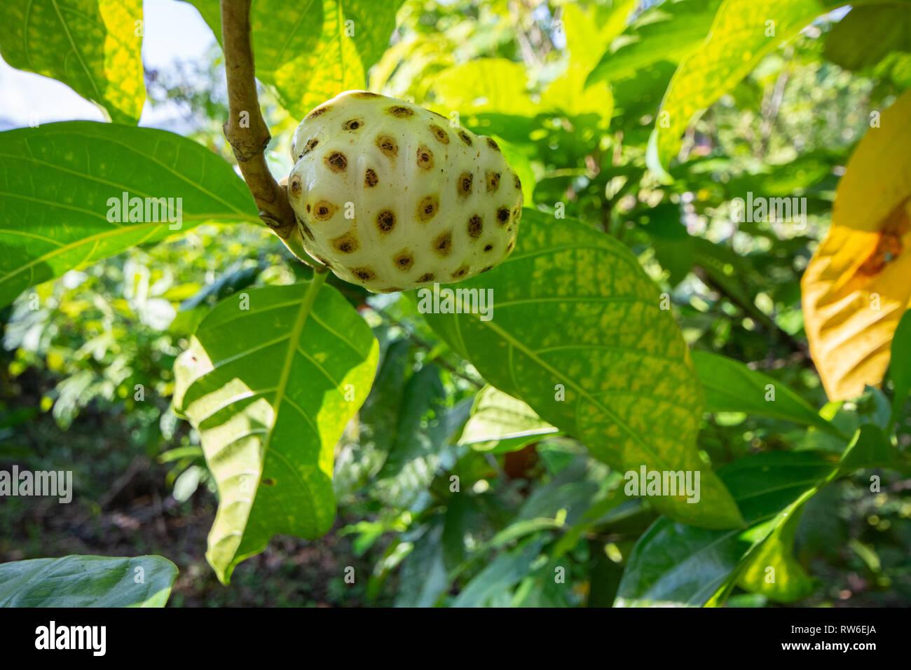 Noni Fruit Tree Stock Photos Noni Fruit Tree Stock Images Alamy