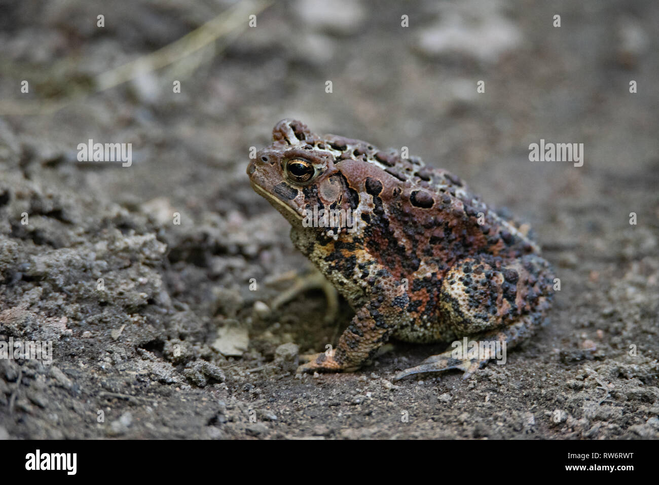 American Toad (Anaxyrus americanus) basking in the mud - Stock Image