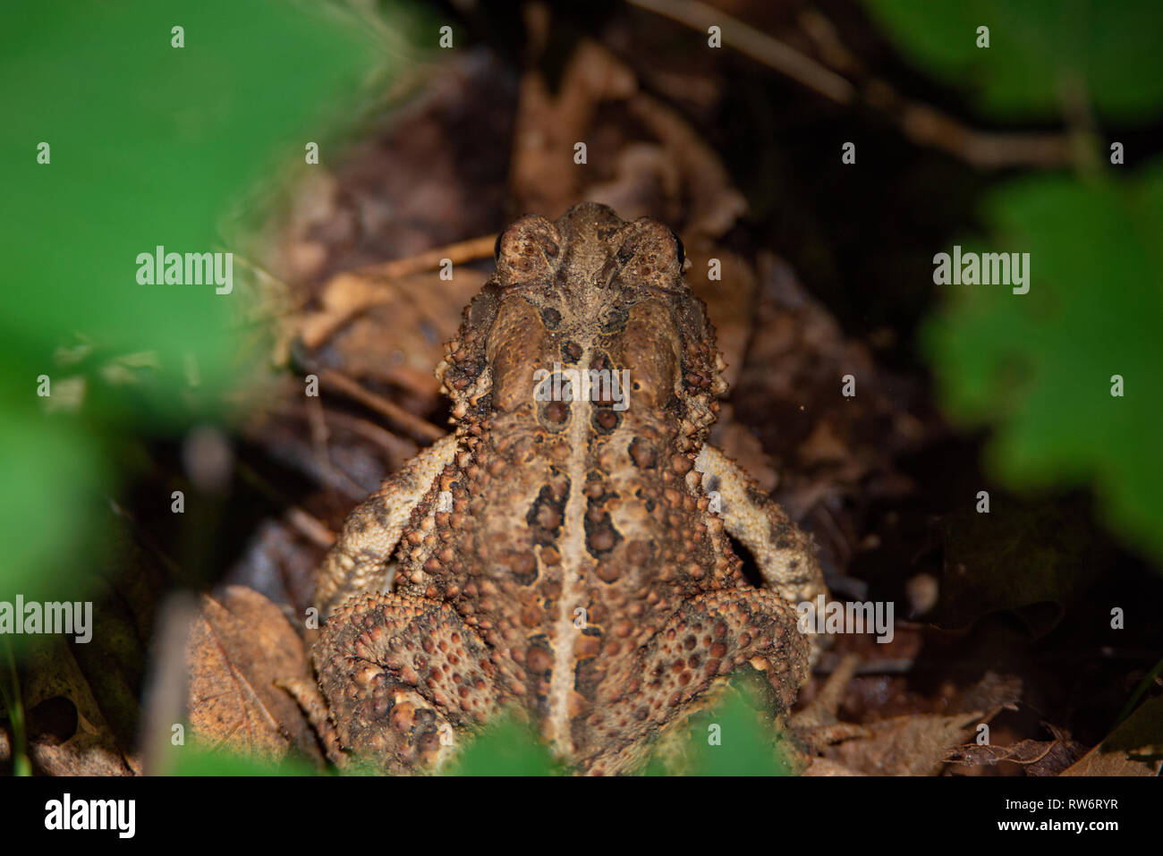 American Toad (Anaxyrus americanus) hidden among the leaves on the forest floor - Stock Image