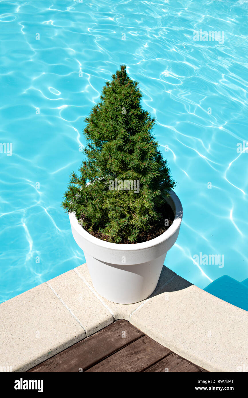 Fir tree in a white pot on swimming pool border. Pool decoration concept - Stock Image