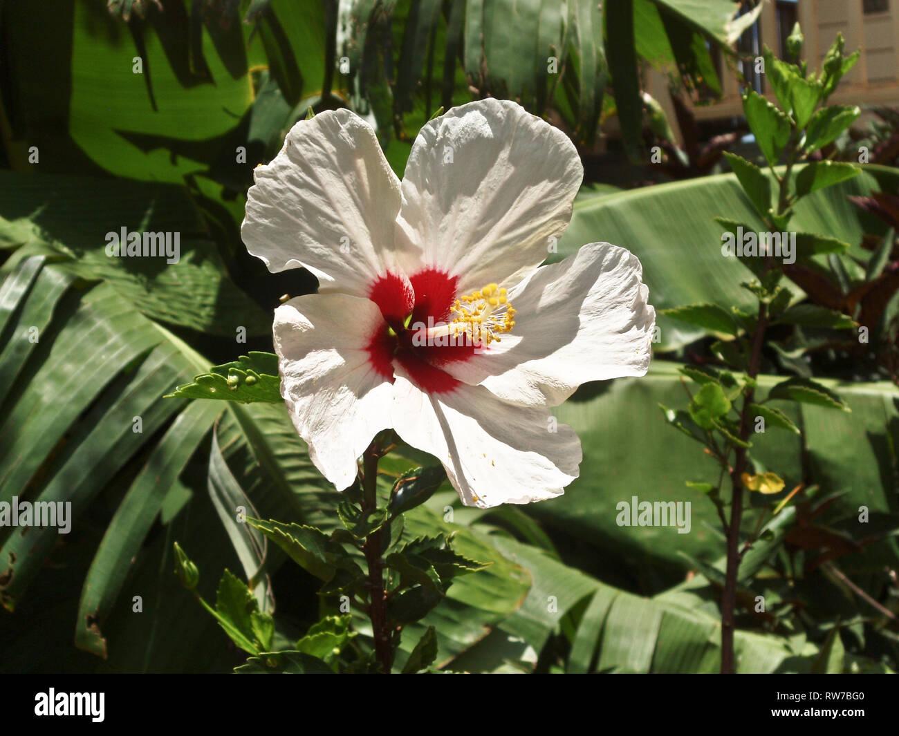 Hawaiian hibiscus bloom - Stock Image