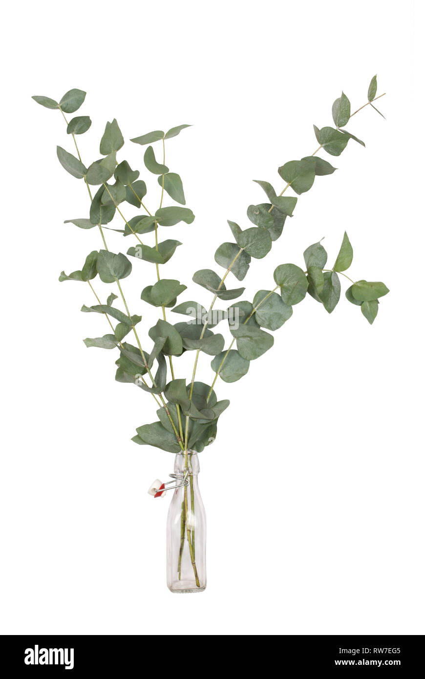 bouquet of eucalyptus cinerea, silver dollar, twigs and branches in glass swing top bottle, isolated on white background Stock Photo