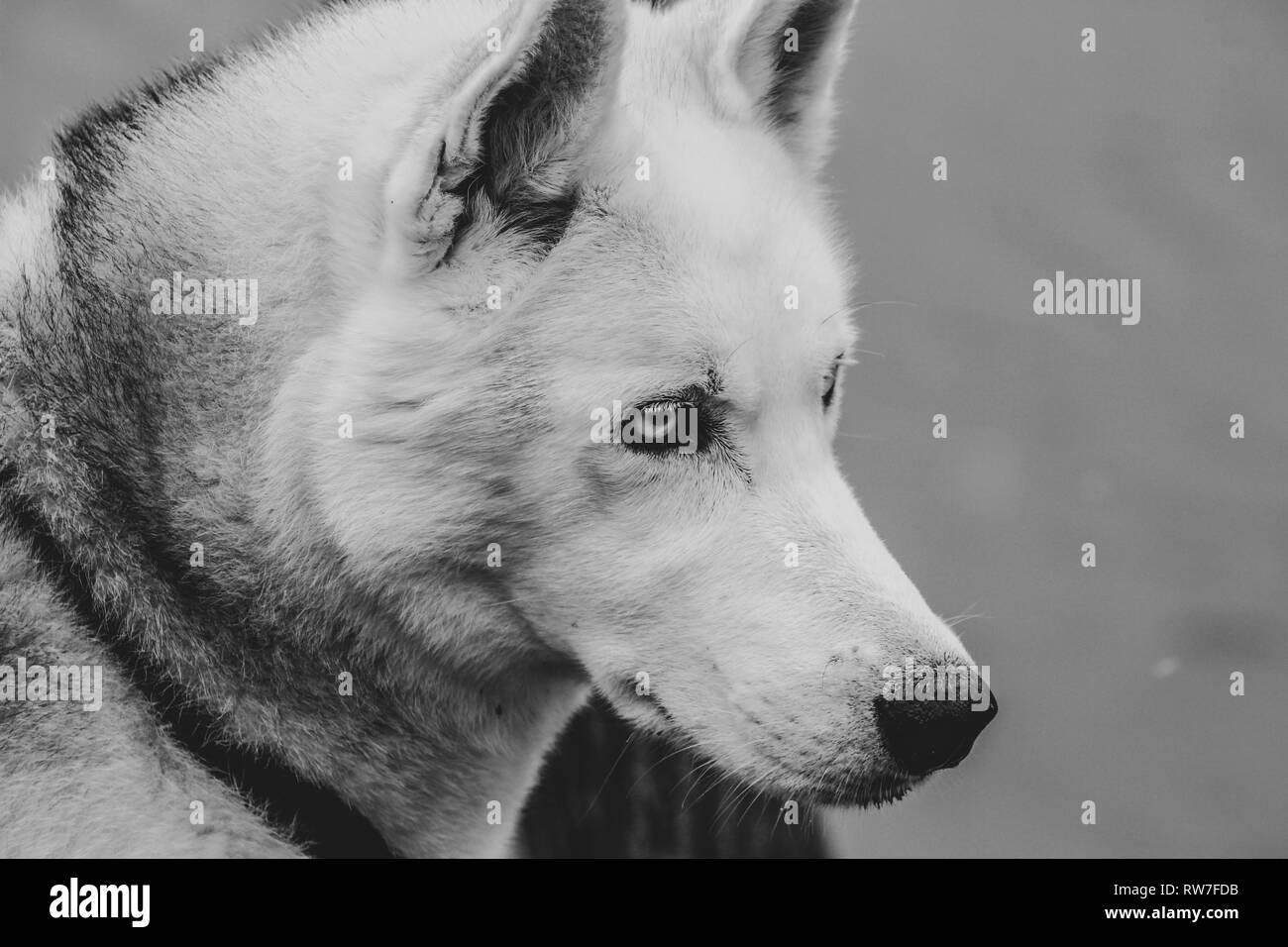 siberian husky studio shoot. isolated on gray. - Stock Image