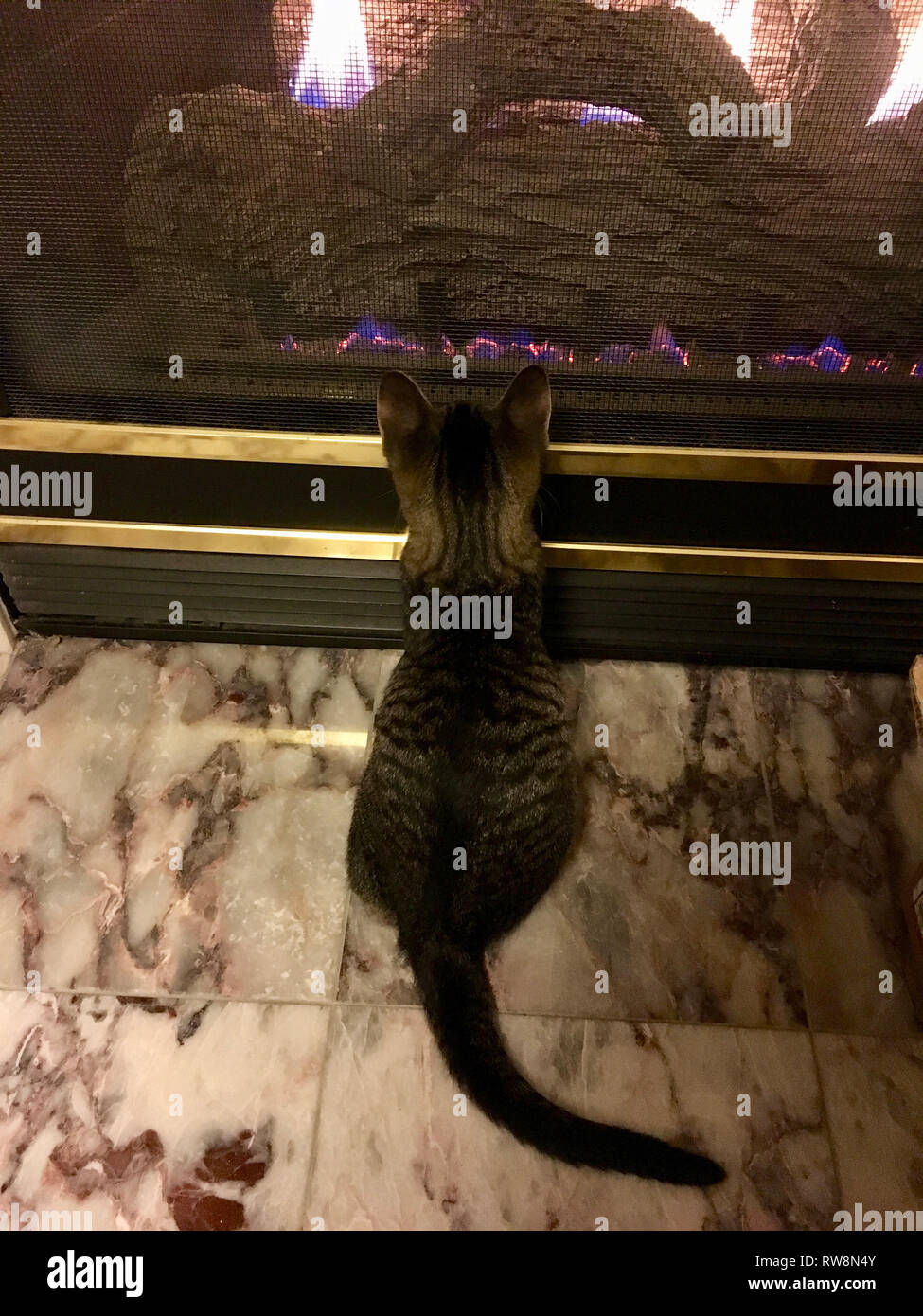 A young grey tabby cat looks at a fireplace for the first time Stock Photo
