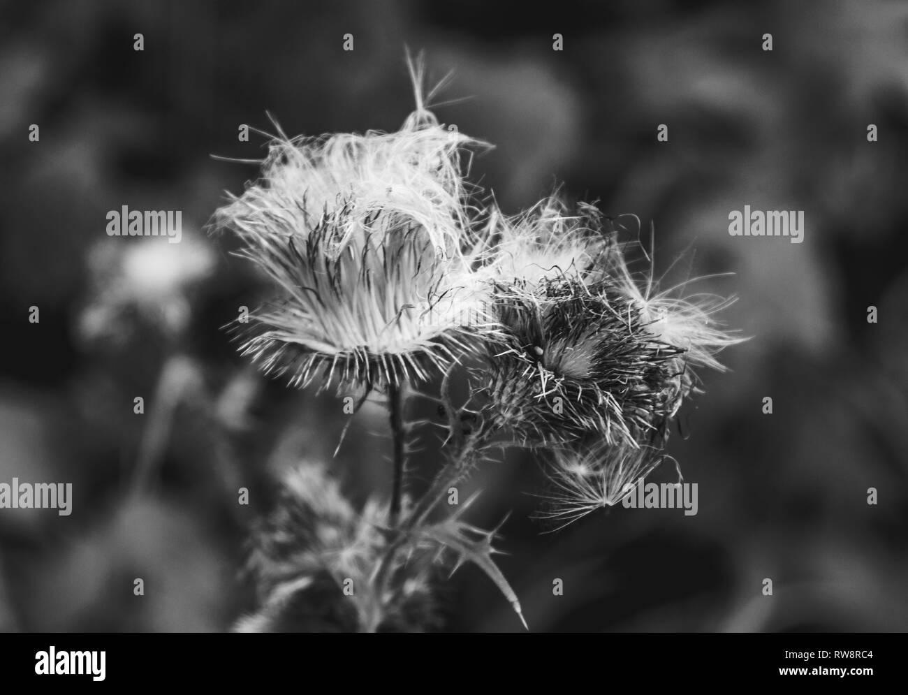 dead flower - Stock Image