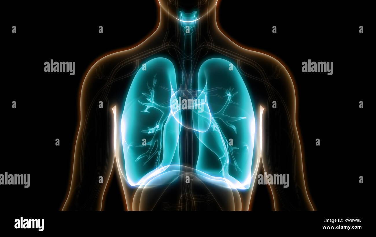 Human Respiratory System Lungs Anatomy - Stock Image