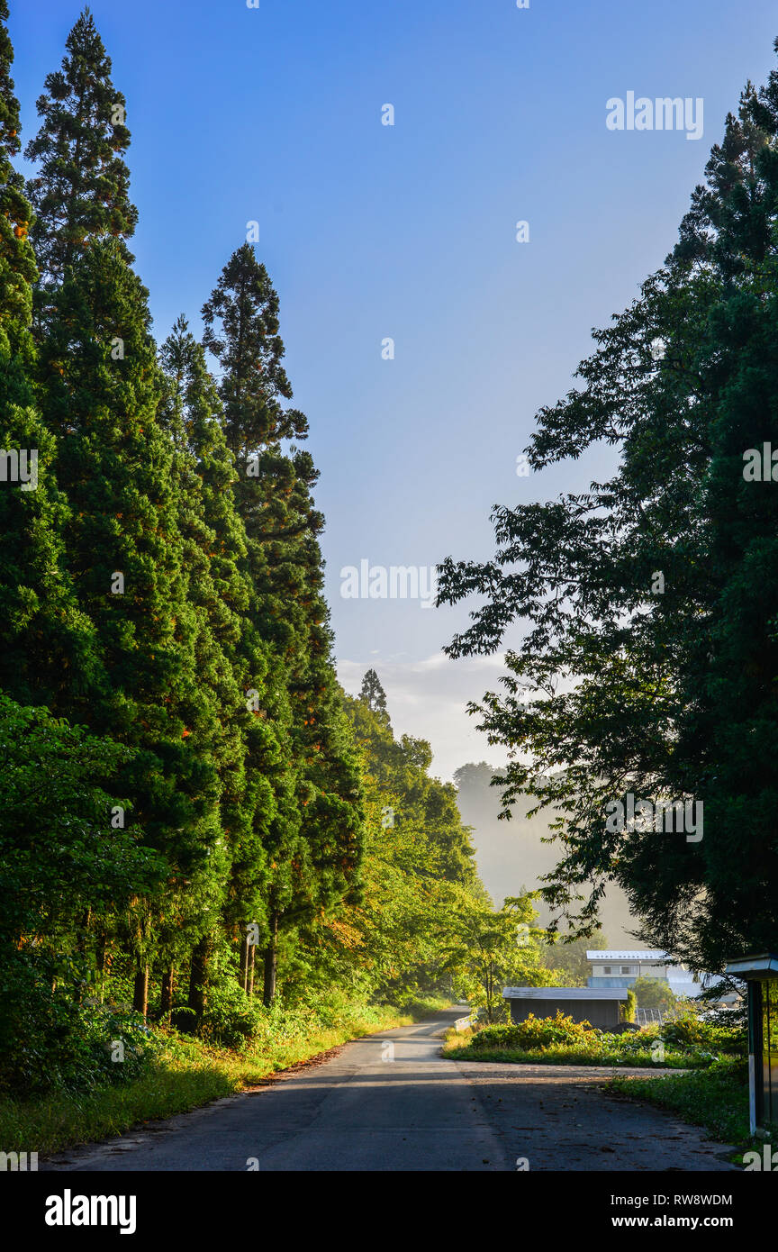 Huge pine trees at ancient forest in Akita, Japan. - Stock Image