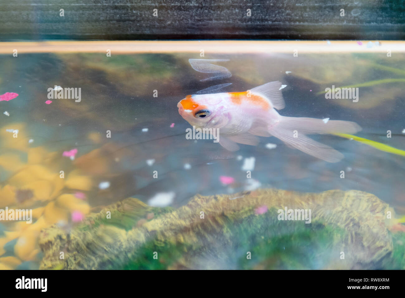Feeding goldfish in the aquarium at home. Fish rock and plants in the background - Stock Image