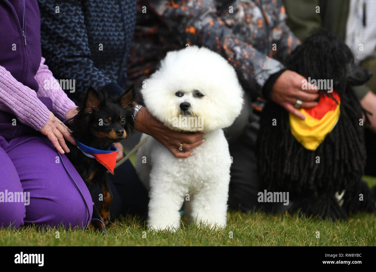 Russian Toy dog named Pride (left) and a Bichon Frise named