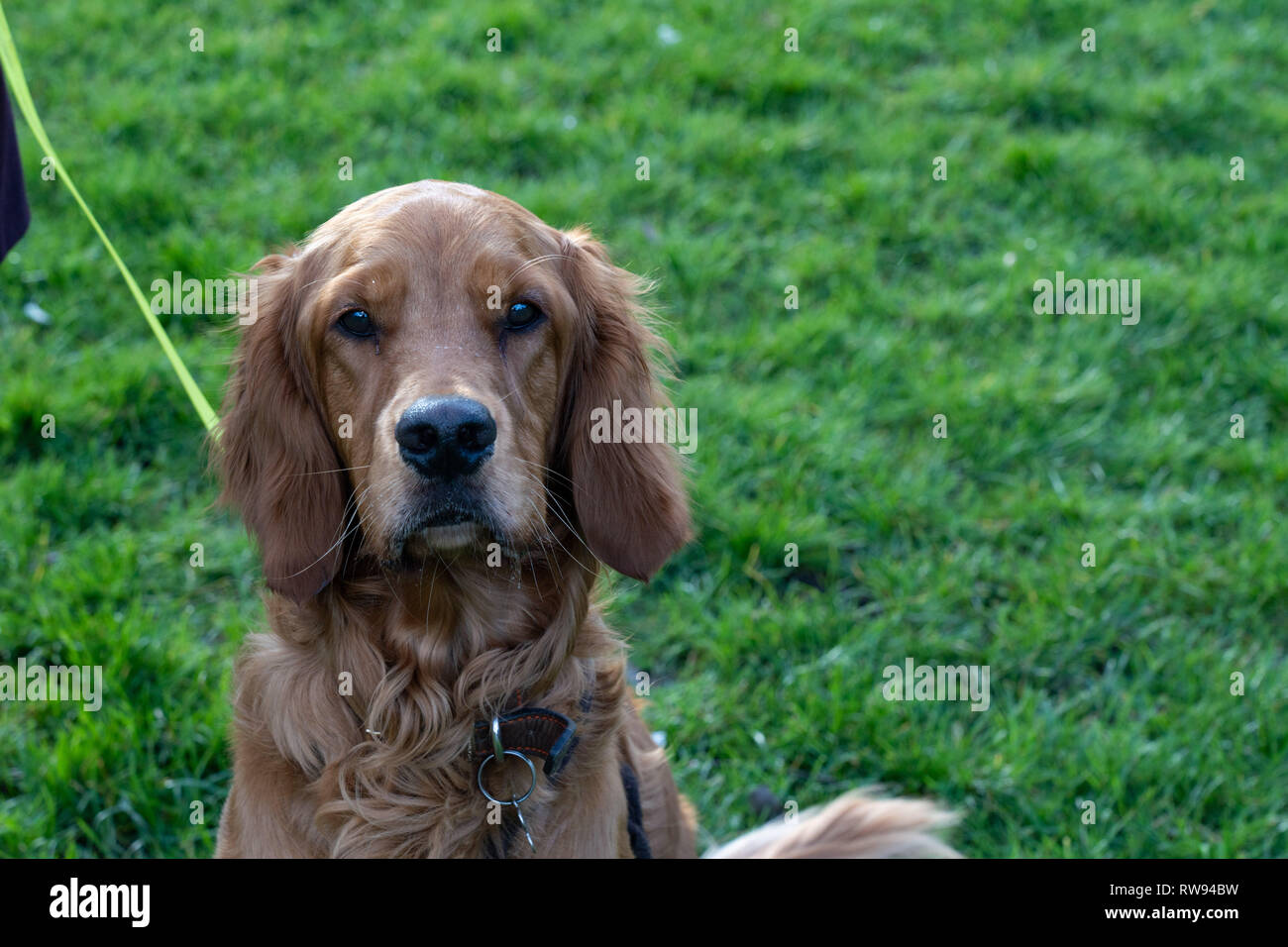 Irish setter Dog with long ears looking at the camera. Stock Photo