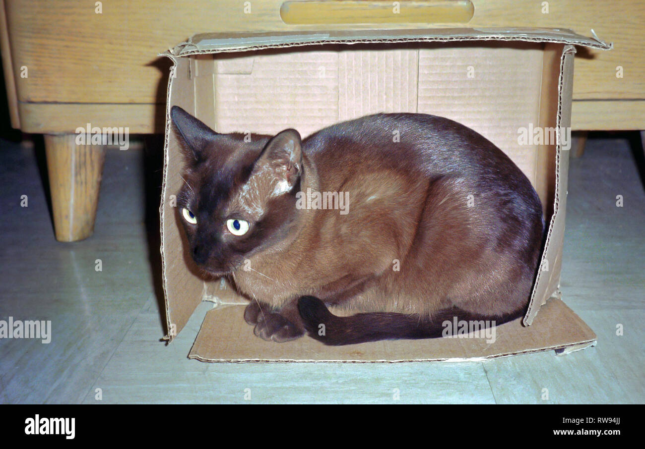 Tonkinese kitten, sitting in small box, turned on edge; fills space; cozy; secure; brown; black points; pet; cat; pure bred, humnorous, animal, feline - Stock Image