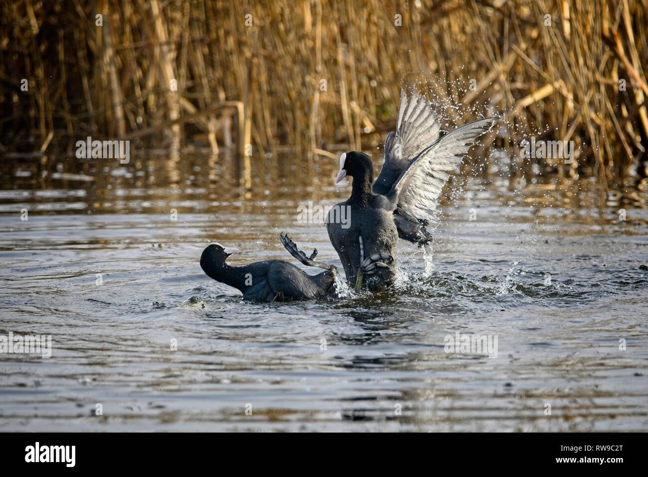 Two coots at Leighton Moss RSPB reserve settling a disagreement Stock Photo