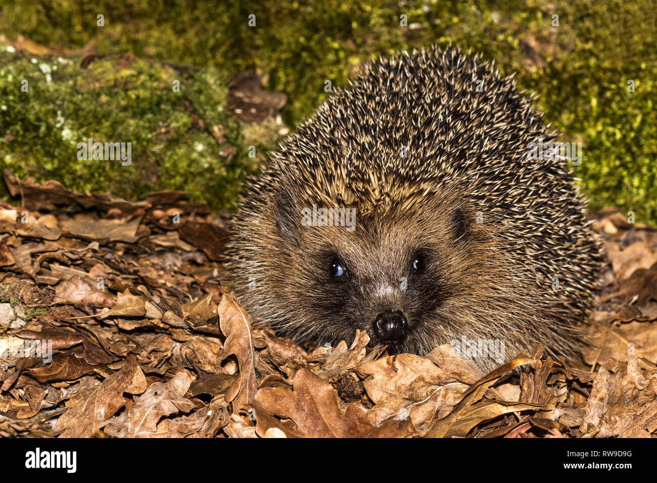 European Hedgehog (Erinaceus europaeus).Adult in autumn in the early evening searching for food.Southwest France. - Stock Image