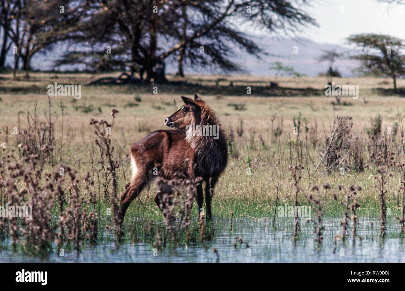 Common  Waterbuck (Kobus ellipsiprymnus).Immature standing near edge of Lake Nakuru. Kenya.East Africa. Stock Photo