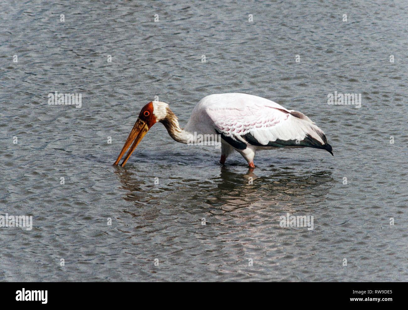 Africa.Kenya.Yellow-billed Stork (Ibis ibis).Adult feeding in Lake Naivasha. - Stock Image