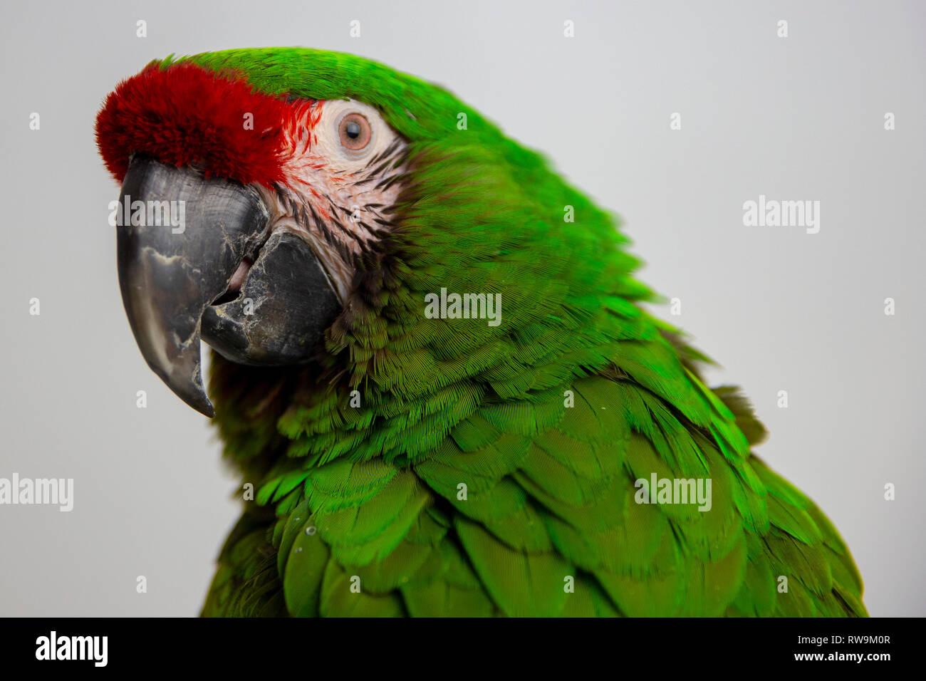 Military Macaw - Ara militaris, large beautiful green parrot Stock Photo