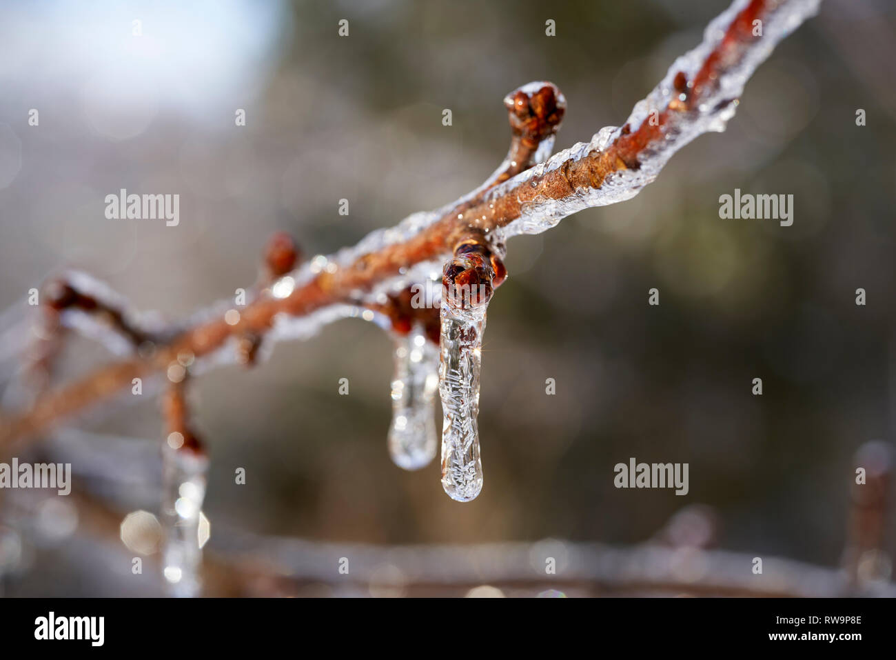 Tree branches covered by ice after freezing rain storm - Stock Image