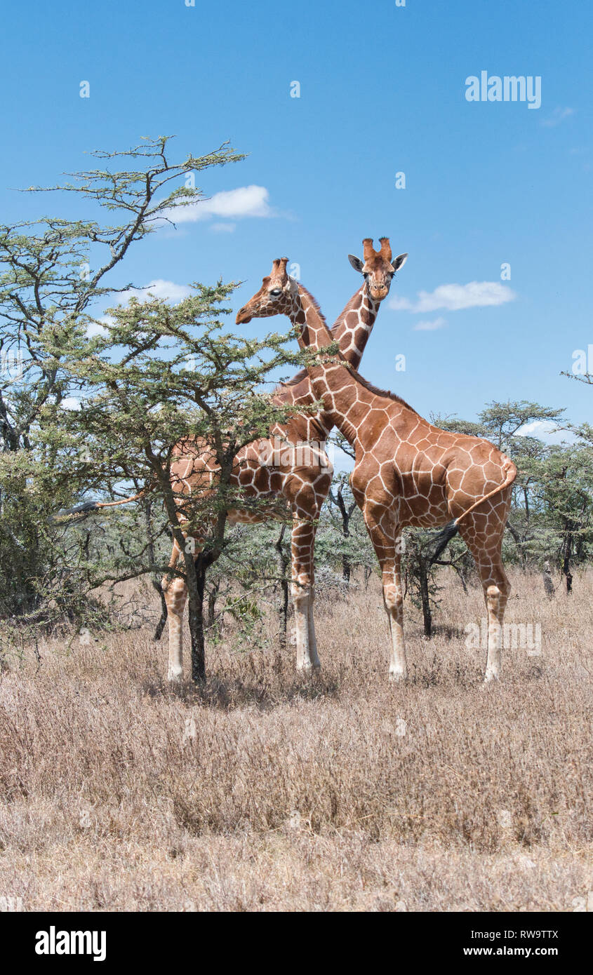 Reticulated giraffe (Giraffa camelopardis reticulata), the race of the giraffe found in northern Kenya and Somalia - Stock Image