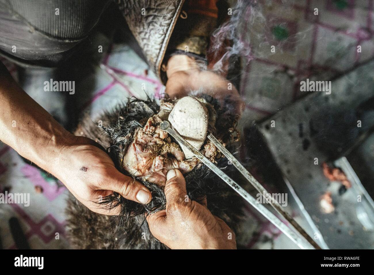 Hot stones are filled into the body with tongs, traditional cooking of a goat with hot stones in its belly - Stock Image