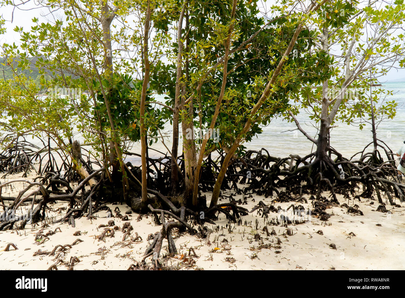 mangrove forest Photographed on Curieuse Island reserve, Seychelles, - Stock Image