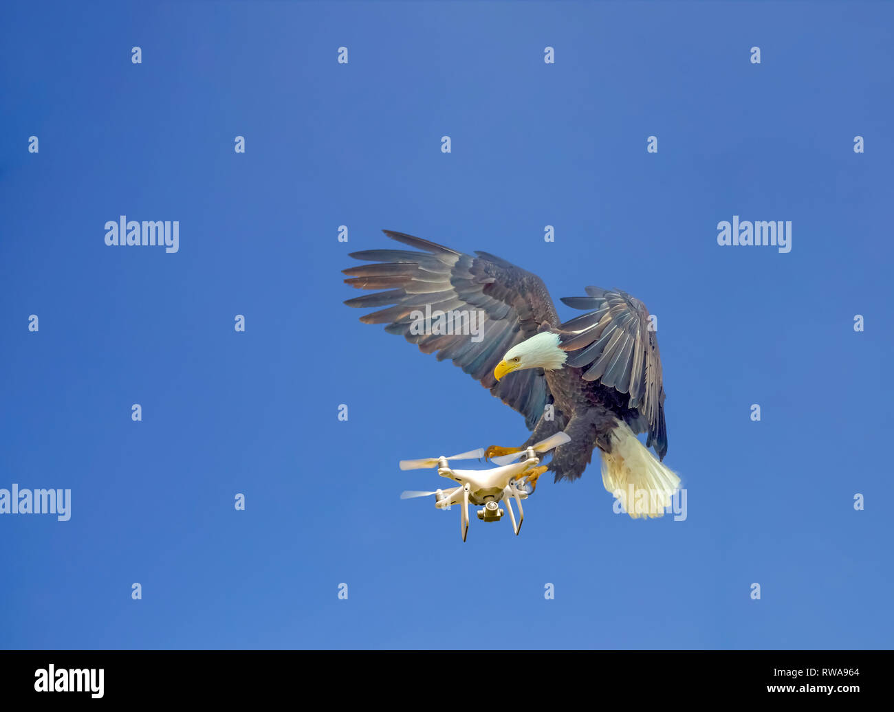 Digitally enhanced image of Nature Vs Technology concept. An eagle attacks an airborne drone on a blue sky background - Stock Image