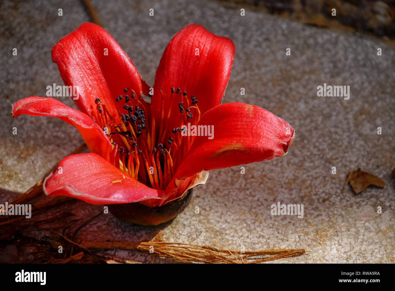 Close up of the red flower of the Delonix regia tree (AKA royal poinciana, flamboyant or flame tree) - Stock Image