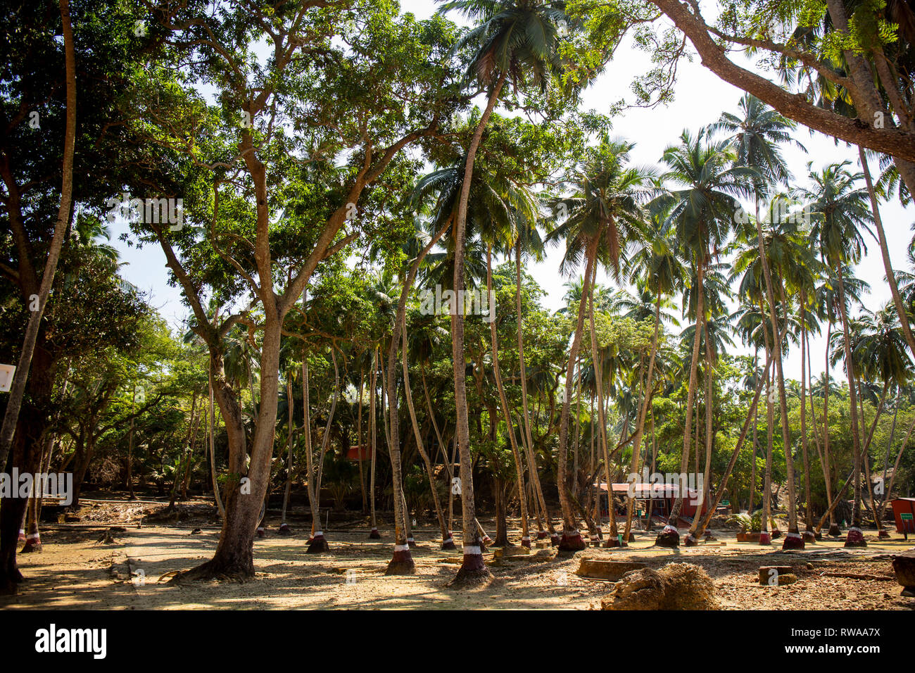 Coconut Trees on Ross island, which is part of the Andaman and Nicobar Islands of India. - Stock Image