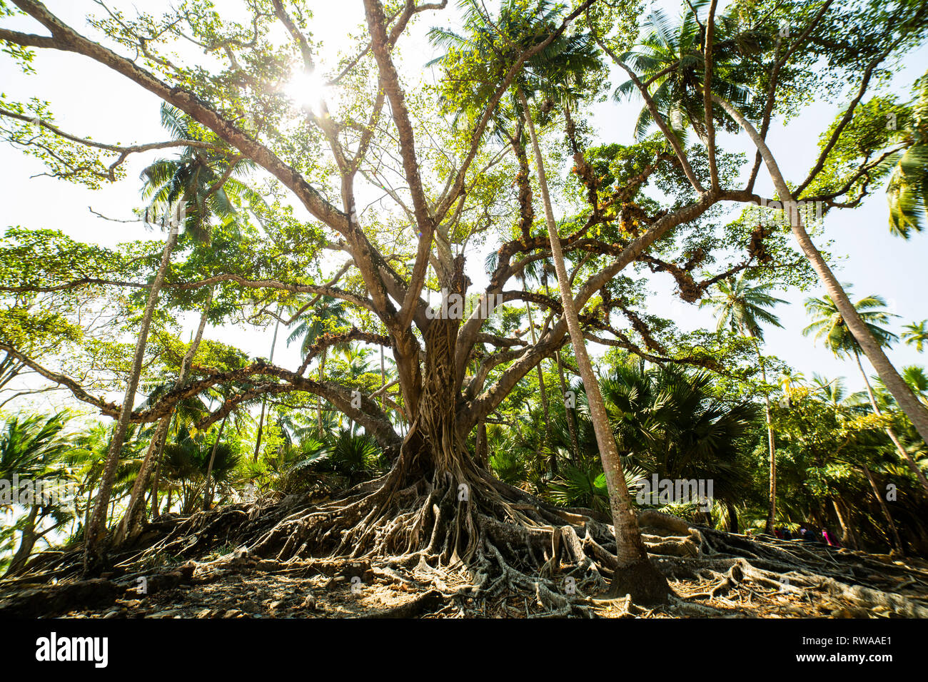 An impressive tree and root systems found on Ross Island. - Stock Image