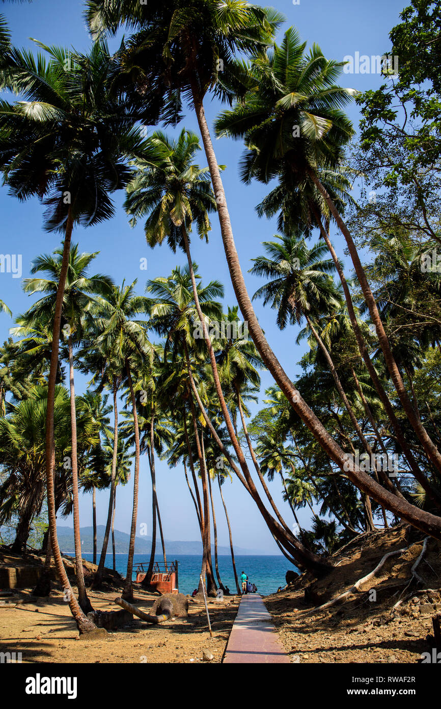 Coconut Palm trees line the path towards one of the beaches on Ross Island. - Stock Image