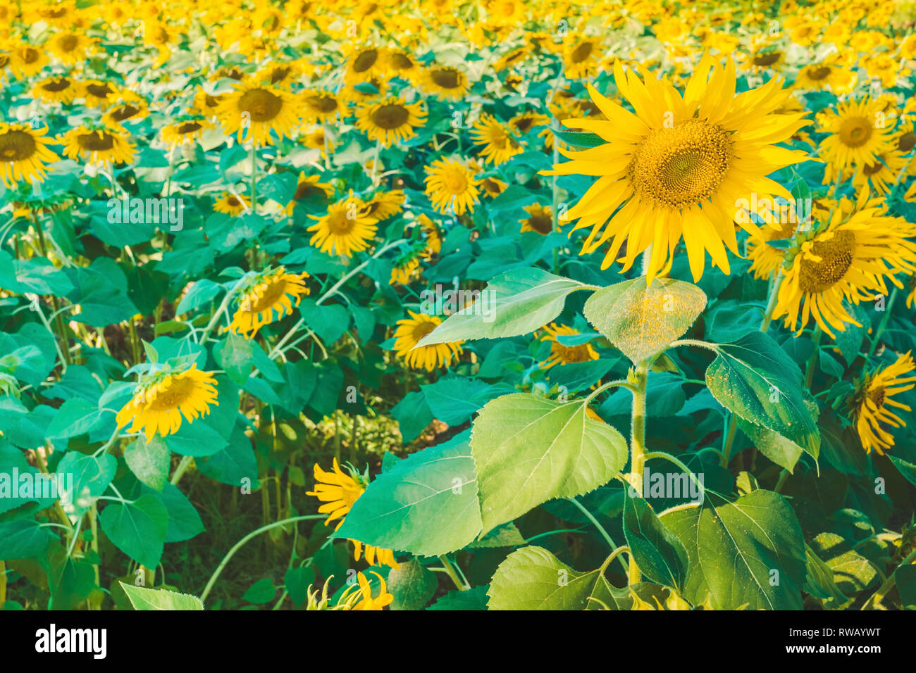 Prettiest sunflowers field in the afternoon in Nakhon Pathom, Thailand. Closeup of sunflower on farm. Rural landscape - Stock Image