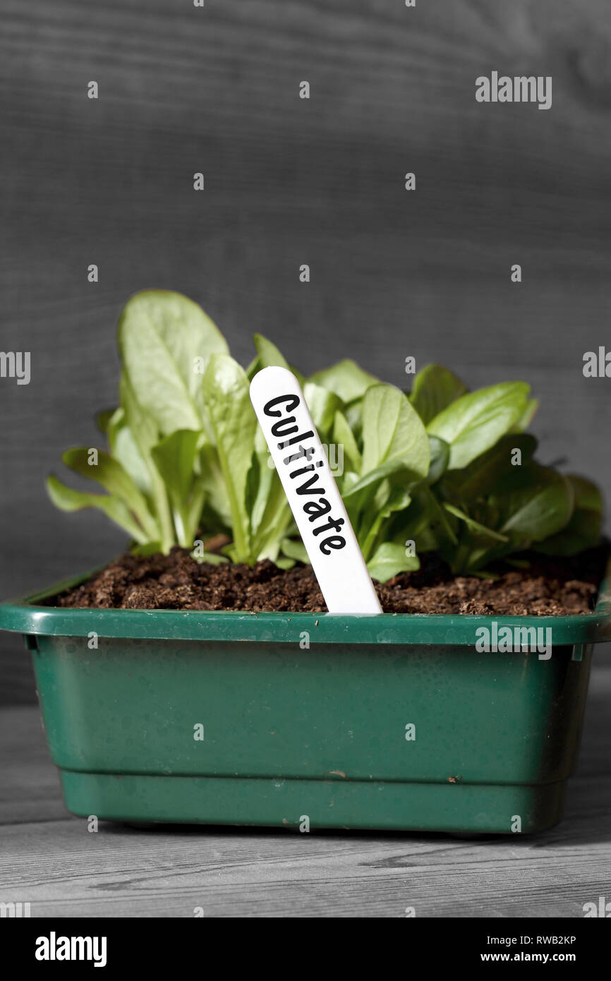 Lettuce growing in a seed tray with cultivate on label with selective colour - Stock Image