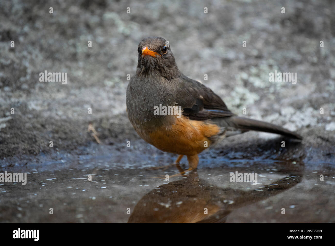 olive thrush, Turdus olivaceus, Mgahinga Gorilla National Park, Uganda Stock Photo