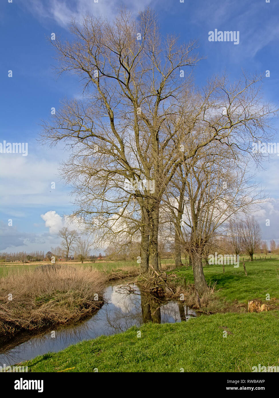 Flemish landscape with bare trees and a ditch on a blue sky with soft fluffy clouds in Oude Kalevallei nature reserve . - Stock Image