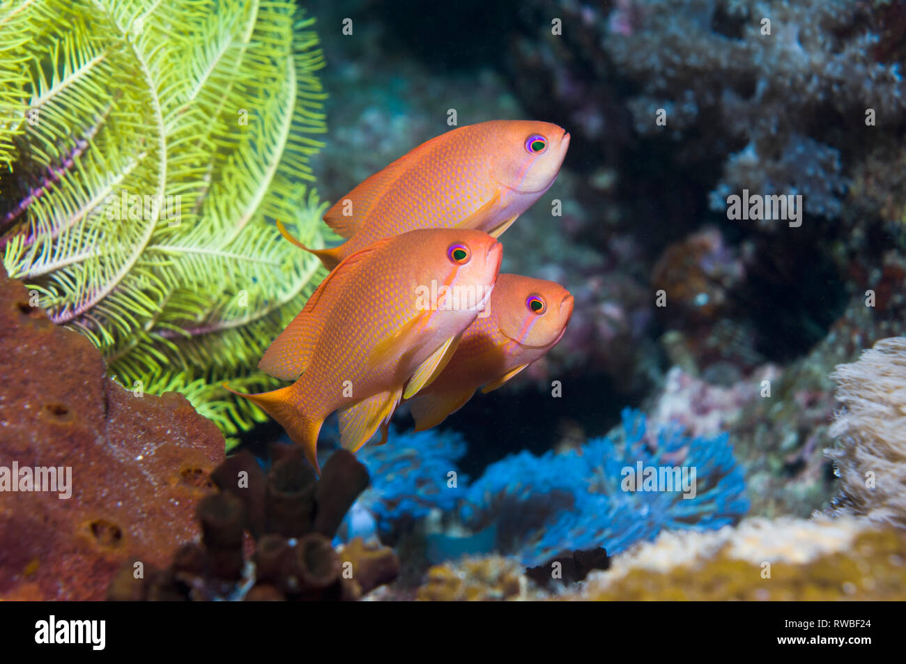Lyretail anthias or Goldies [Pseudanthias squamipinnis].  Philippines. - Stock Image