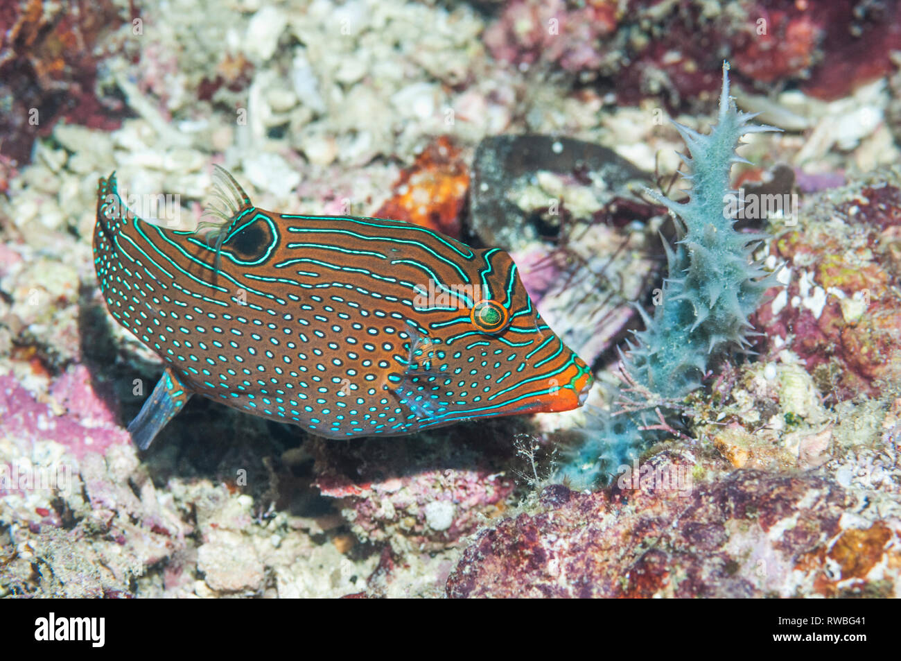 Netted or Papuan toby [Canthigaster papua].  West Papua, Indonesia. Stock Photo