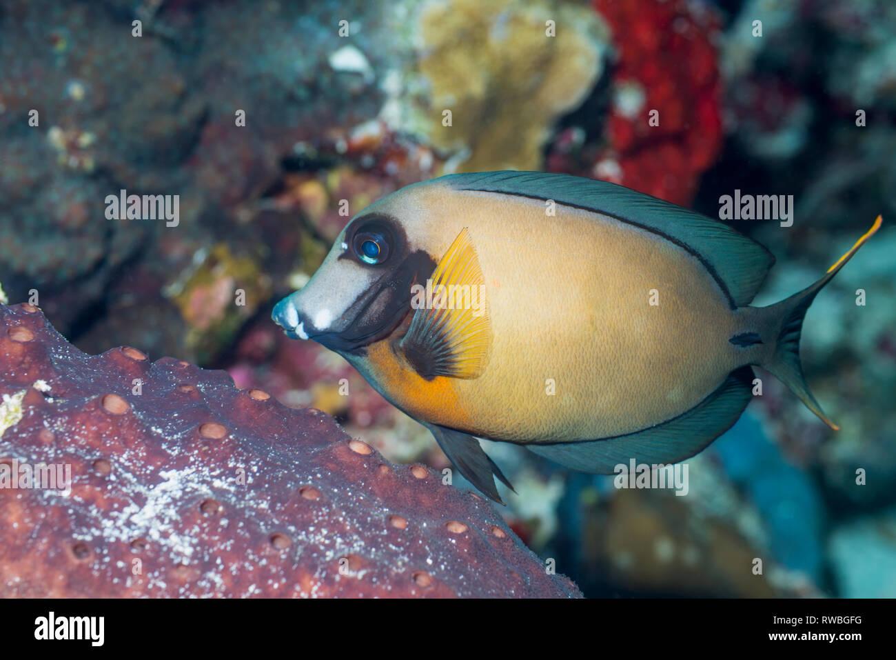 Mimic surgeonfish, Chocolat tang [Acanthurus pyroferus].  North Sulawesi, Indonesia. - Stock Image